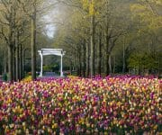 An image of the white bridge near the entrance of the park showing the scale of a hill with thousands of tulips that can be seen in front of it