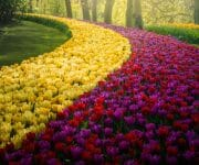 I love how you can see these lines and shapes of tulips in the park
