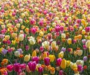 In some parts of the park, you can find endless seas of different colored tulips that together make a beautiful abstract color palette