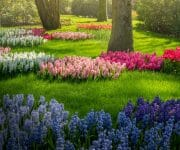 It's in the details with these small patches of different colored hyacinth flowers carefully places on the grass between the trees