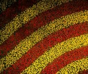 The red and yellow carpet of tulips as seen from a drone perspective from about 10 meters up