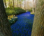 The world-famous 'blue river. ' a road of blue grape hyacinths zigzagging through the trees