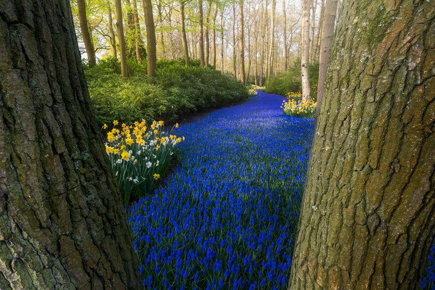 The world-famous 'Blue River.' A road of blue grape hyacinths zigzagging through the trees